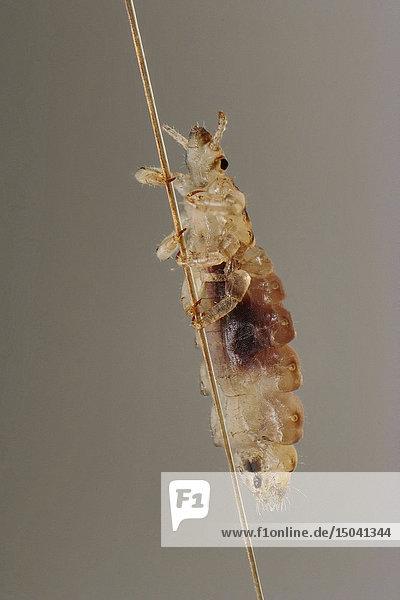 Kopflaus  Pediculus humanus capitis