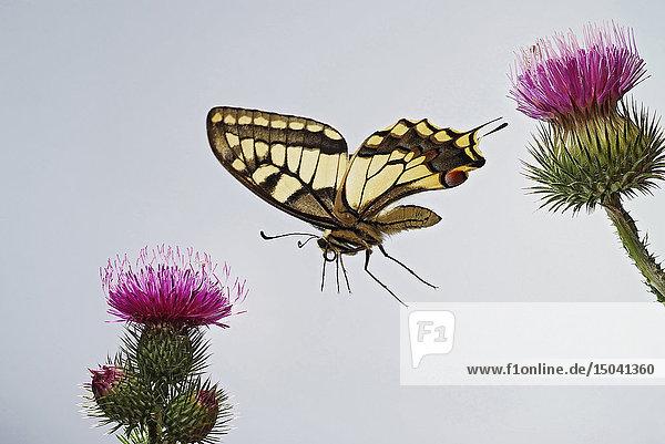 Schwalbenschwanz  Papilio machaon  Deutschland  Europa
