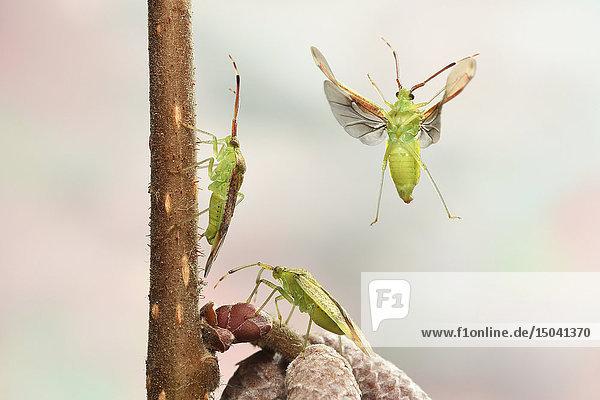 Erlenweichwanze  Pantilius tunicatus