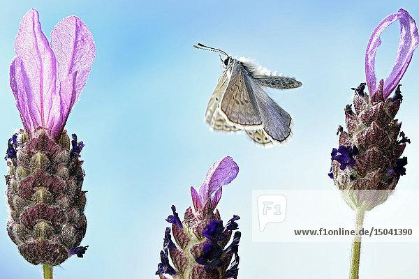 Gemeiner Bläuling  Polyommatus icarus  Deutschland  Europa