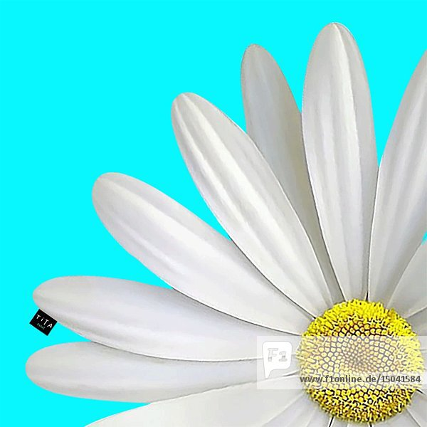 Smiley Face on White Daisy Animation