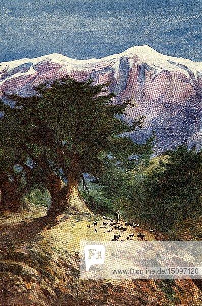 'Cedars of Lebanon - Matt. xii. 33'  c1924. Creators: James Clark  Henry A Harper.