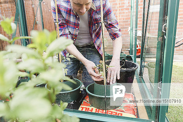 Man planting seedling in greenhouse