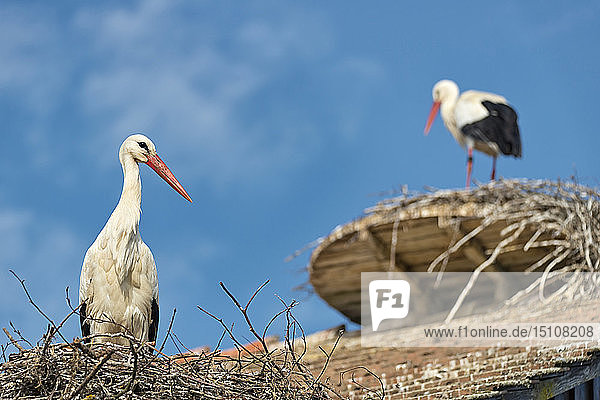 Germany  Baden-Wuerrttemberg  Lake Constance  Salem  white storks in nest