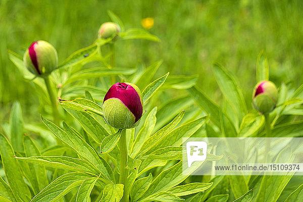 Blütenknospe der roten Pfingstrose