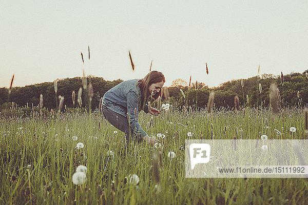 Lächelndes Teenager-Mädchen pflückt Pusteblumen auf einer Wiese in der Abenddämmerung