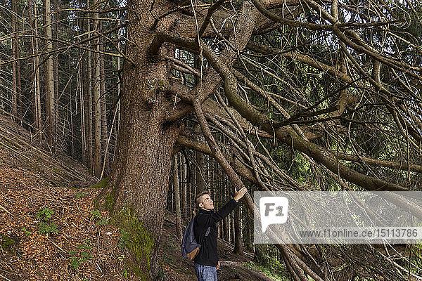 Junger Mann mit rucksackberührendem Ast einer alten großen Fichte  Oberammergau  Deutschland