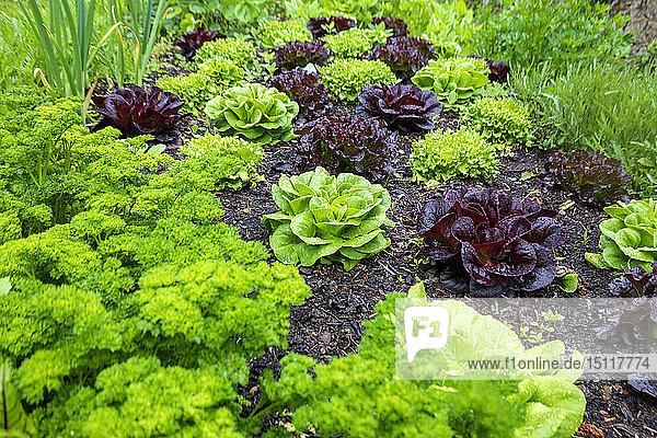Permakulturbeet mit verschiedenen Salaten und Petersilie