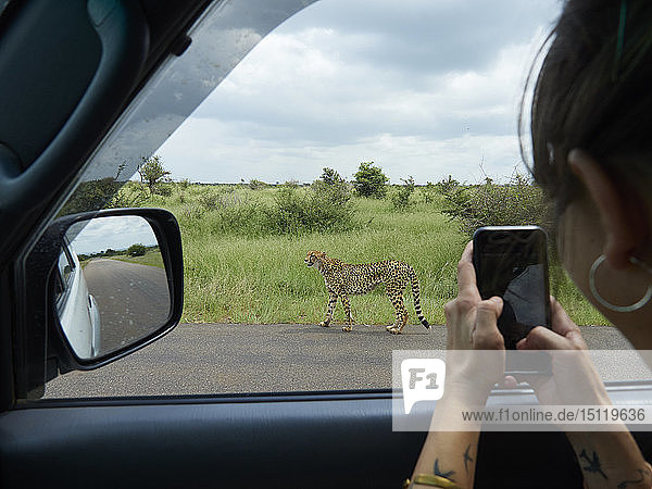 South Africa  Mpumalanga  Kruger National Park  woman taking cell phone picture of cheetah out of a car