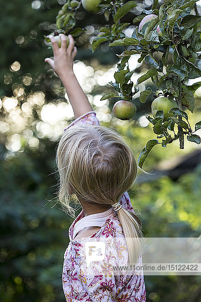 Back view of girl picking apple from tree