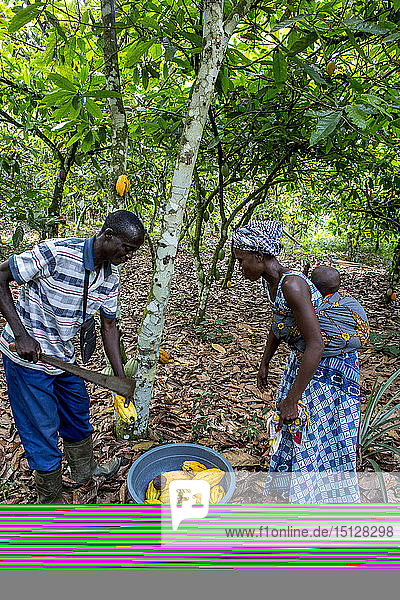 Cocoa planters harvesting in their plantation near Agboville  Ivory Coast  West Africa  Africa