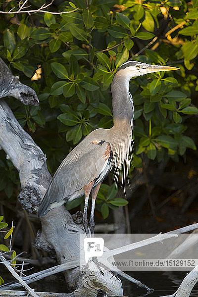 Great Blue Heron (Ardea Herodias)  Rio Lagartos Biosphere Reserve  Rio Lagartos  Yucatan  Mexico  North America