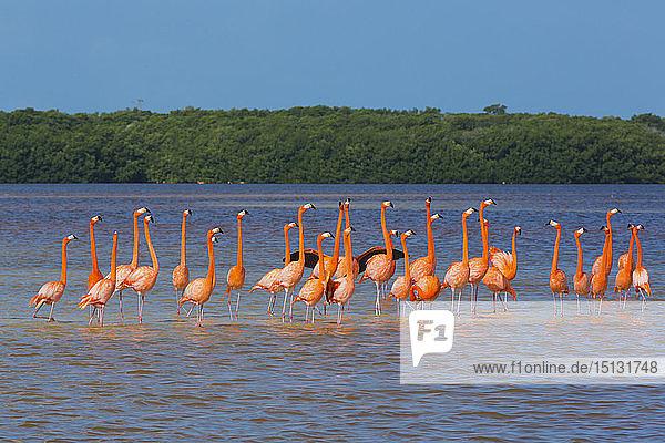 American Flamingos (Phoenicopterus ruber)  Celestun Biosphere Reserve  Celestun  Yucatan  Mexico  North America