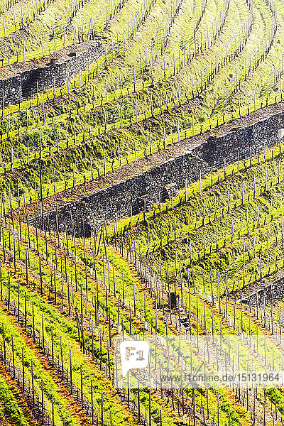 Sunlight in the wineyards at spring  Bianzone  Valtellina  Lombardy  Italy  Europe