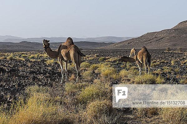 Camels in Assekrem  Tamanrasset  Hoggar mountains  Algeria  North Africa  Africa