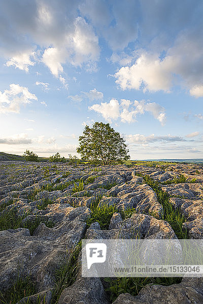 A lone tree on the Limestone Pavement at Malham Cove in the Yorkshire Dales National Park  Yorkshire  England  United Kingdom  Europe