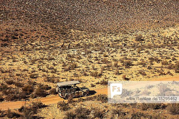 Touristisches Geländefahrzeug  das Giraffen und Zebras folgt  die durch eine trockene Landschaft rennen  Luftaufnahme  Kapstadt  Westkap  Südafrika