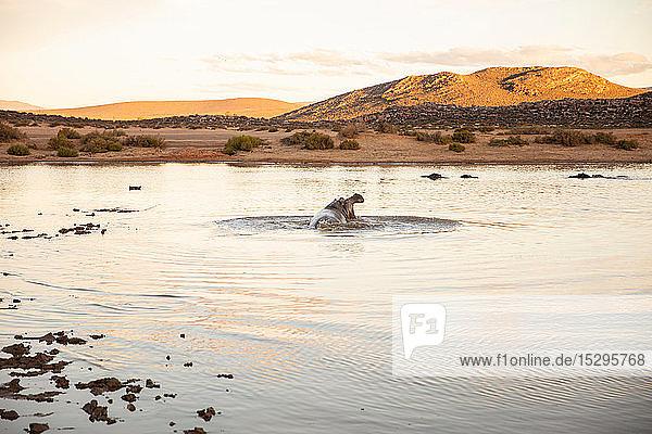 Flusspferd an einer Wasserstelle  Kapstadt  Westkap  Südafrika