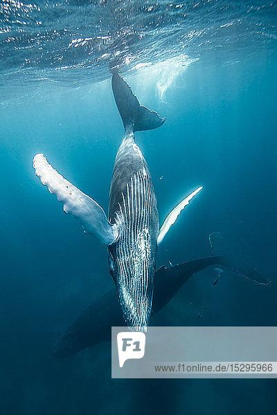Kreuzfahrt mit Buckelwalmutter und Kälbern nahe der Meeresoberfläche  Punta Baja  Baja California  Mexiko