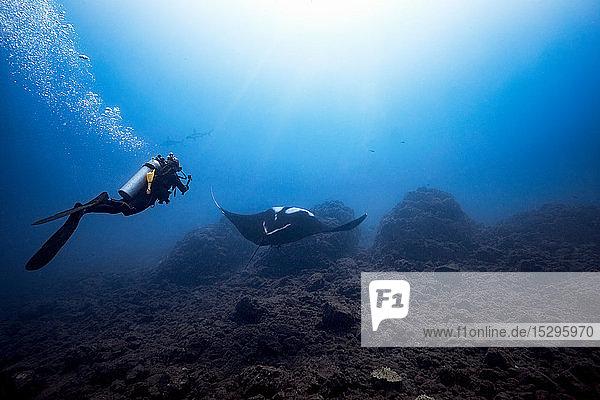 Taucherin filmt ozeanischen Riesenmantarochen  im Hintergrund zwei gezackte Hammerköpfe  Revillagigedo-Inseln  Socorro  Baja California  Mexiko