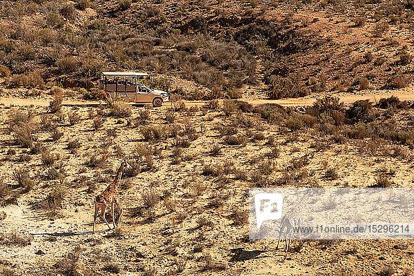 Touristisches Geländefahrzeug zur Beobachtung von Giraffen in trockener Landschaft  erhöhte Ansicht  Kapstadt  Westkap  Südafrika