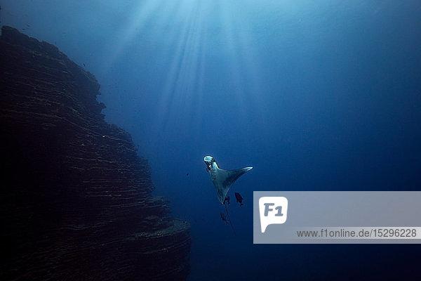 Ozeanischer Riesenmantarochen  Revillagigedo-Inseln  Socorro  Baja California  Mexiko