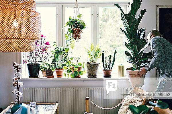 Mann trägt Topfpflanze am Fenster im Zimmer zu Hause