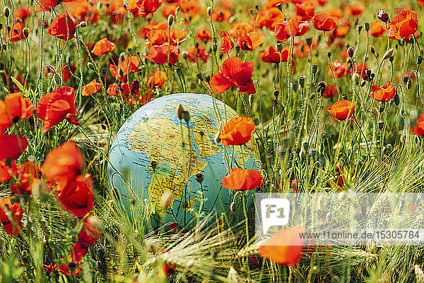 High angle view of globe amidst red poppy flowers on field