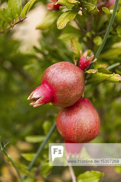 Nahaufnahme Bio-Granatapfel wächst auf einem Zweig