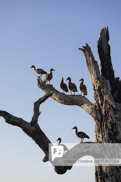 Vögel auf den Ästen eines toten Baumes  Kakadu National Park  Australien
