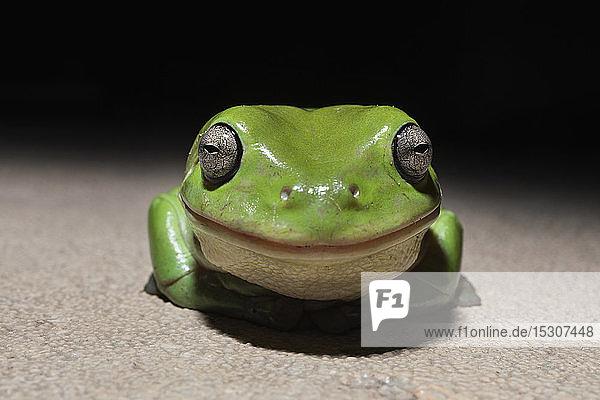 Nahaufnahme Porträt niedlich  lächelnd  winzige grüne Laubfrosch