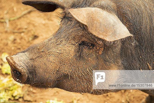 Nahaufnahme Profil schlammiges Freilandschwein