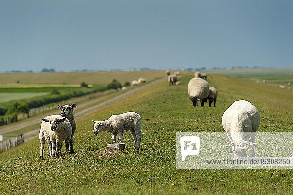 Deutschland  Schleswig-Holstein  Sankt Peter-Ording  Schafe auf dem Deich