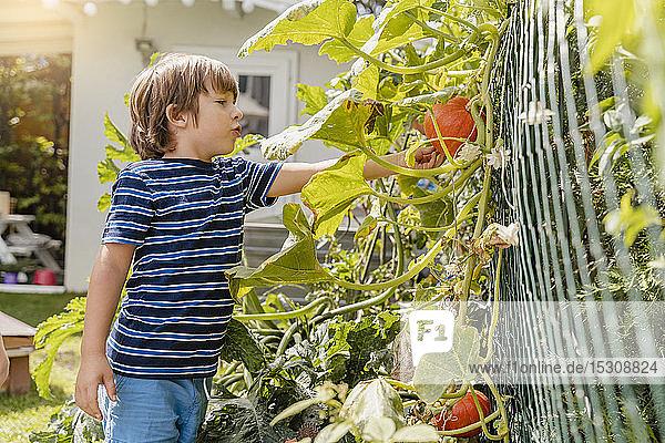 Boy examining pumpkin in garden