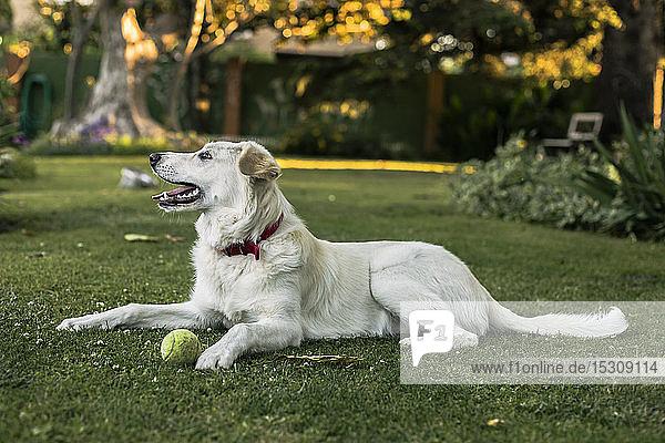 Weißer Hund mit Tennisball auf der Wiese im Garten liegend