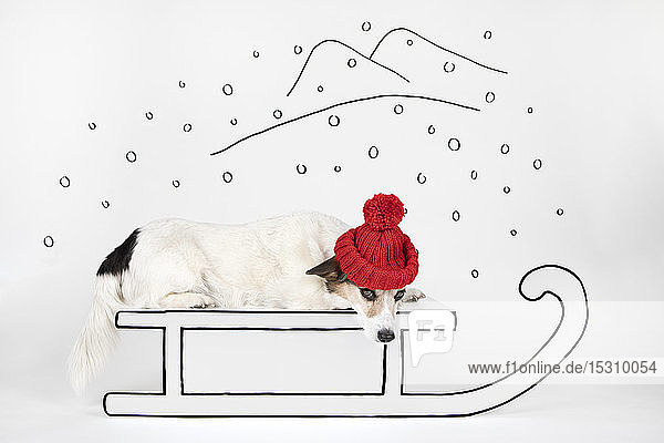 Mongrel wearing red woolly hat lying on drawn sledge
