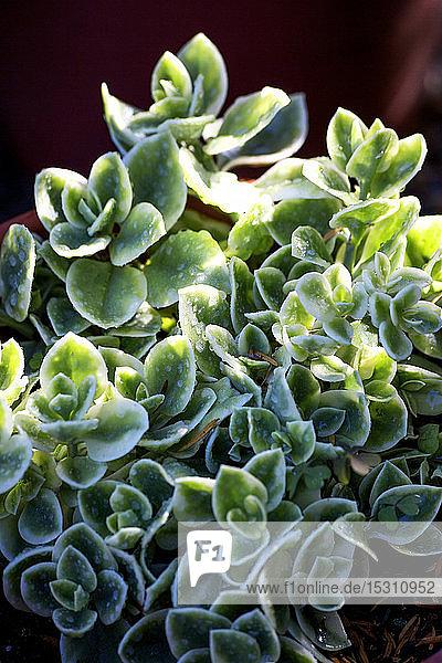 Eispflanze  Mesembryanthemum crystallinum
