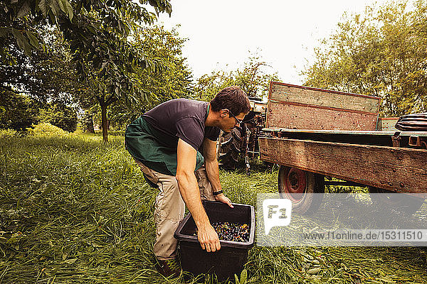Man putting a box with cherries on trailer during harvest in orchard
