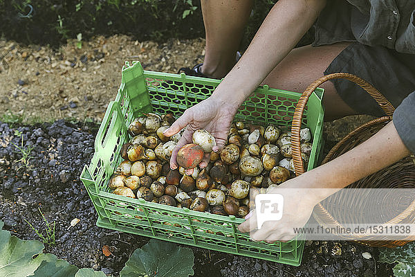 Close-up of woman harvesting onions in garden