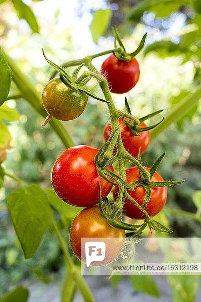 Bio-Tomaten im Garten
