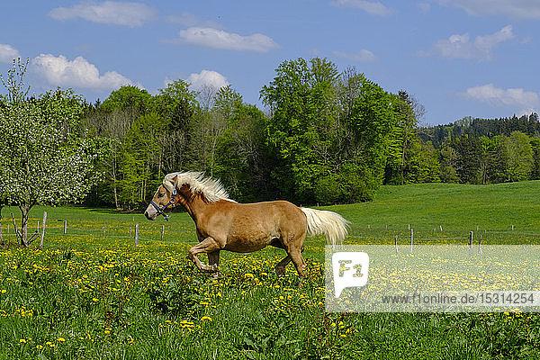 Braunes Haflingerpferd beim Spaziergang auf der Sommerwiese  Bad Heilbrunn  Bayern  Deutschland