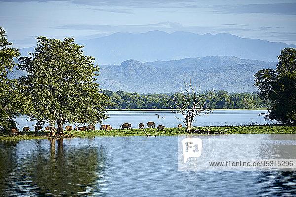 Blick auf die Halbinsel am Udawalawe-Stausee mit jungen Elefanten  Udawalawa-Nationalpark  Sri Lanka