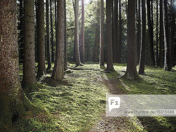 Bäume in einem Mischwald  Tirol  Österreich