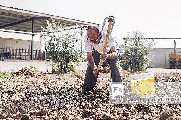 Mann erntet Kartoffeln mit der Hacke