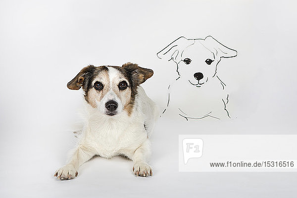 Portrait of mongrel with drawn look-alike lying on white ground