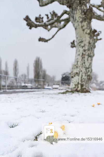 Deutschland  Baden-Württemberg  Gelbe Krokusse mit Schnee