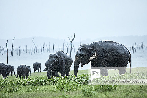 Elefantenherde grast im Kaudulla-Nationalpark bei klarem Himmel
