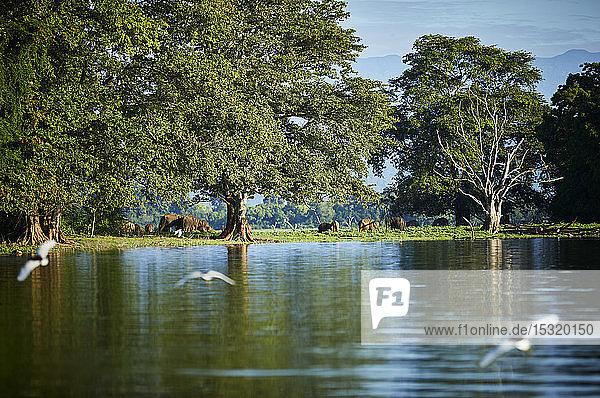 Blick auf die Halbinsel am Udawalawe-Reservoir mit vier jungen Elefanten  Udawalawa-Nationalpark  Sri Lanka