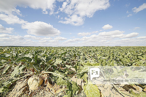 Seine et Marne. Drought and lack of water (2018). Sugar beet field.