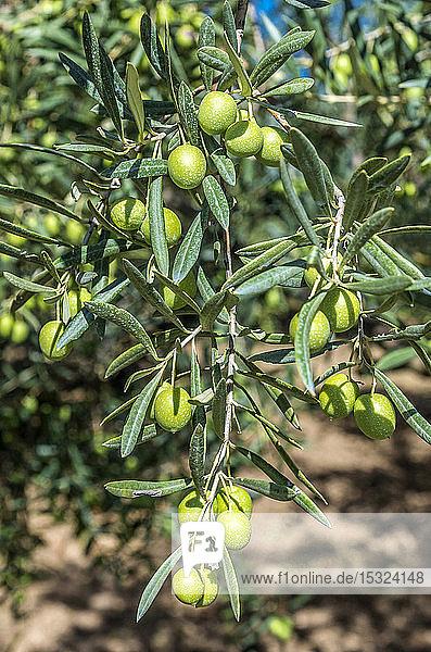 France  Provence  Vaucluse  olive tree at Saint Pantaleon